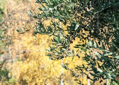 Confiez à un professionnel la plantation, la taille et l'entretien de vos oliviers sur le Gard et l'Hérault