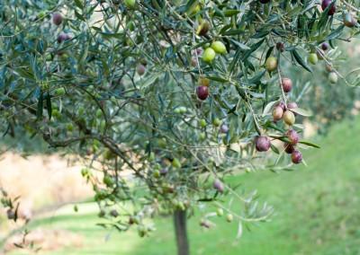 Taille et entretien de vos oliviers à Sommières et sur le Gard et l'Hérault